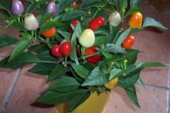 bunte-chilipflanze