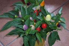 chili-topfpflanze