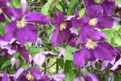 clematis-lila