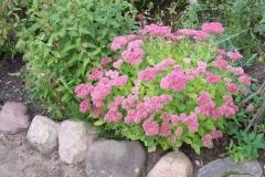 fetthenne-steingartenpflanze