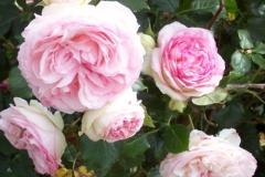 gefuellte-rosen