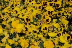 gelbe-stiefmuetterchen