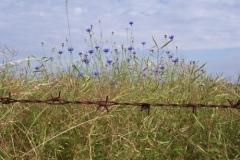 kornblumen-blau