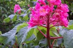 rosa-kastanienblute