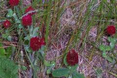 rote-kleepflanzen