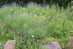 steinmauer-mit-lavendelpflanzen